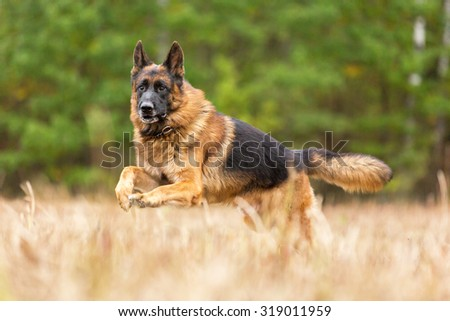 Happy german shepherd running and playing in the field. - stock photo