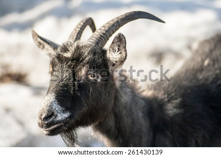 happy goat on grey background - stock photo