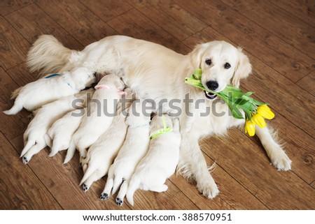 happy golden retriever dog feeding puppies - stock photo