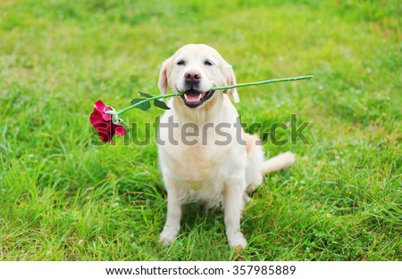 Happy Golden Retriever dog holding red flower in teeth on grass in summer day - stock photo