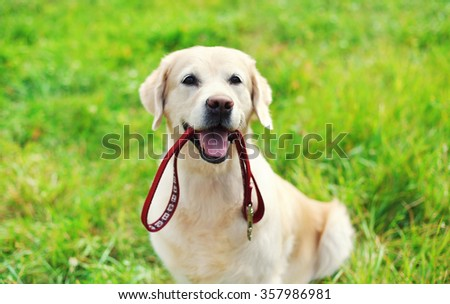 Happy Golden Retriever dog with leash sitting on grass in summer  - stock photo