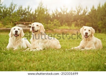 Happy golden retriever family. - stock photo