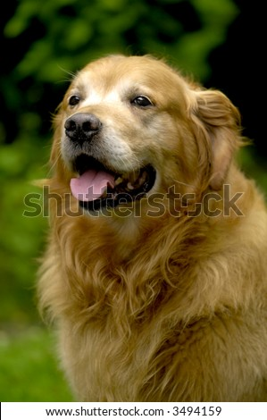 Happy golden retriever in the park