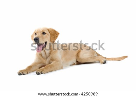 happy golden retriever labrador laying down on the ground - stock photo