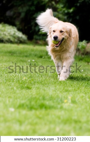 Happy golden retriever playing fetch in the yard. - stock photo