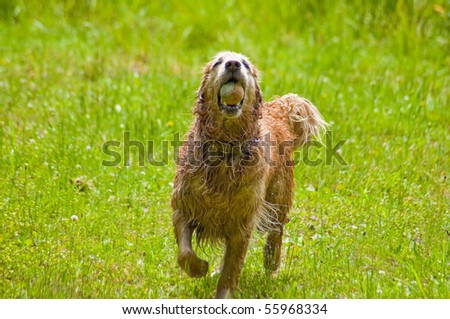 Happy Golden Retriever playing with a tennis ball outside on the grass.