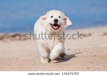 happy golden retriever puppy runs on the beach - stock photo