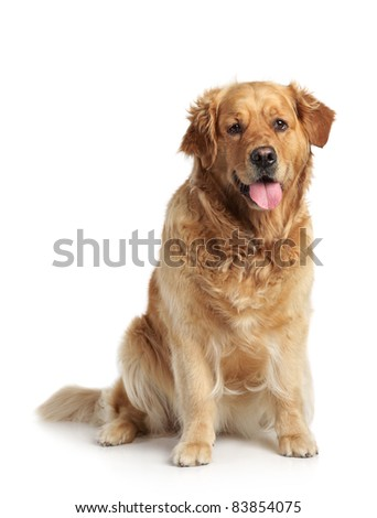 Happy Golden Retriever sits on a white background
