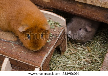 happy guinea pigs at home (US-Teddy) - stock photo