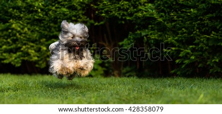 Happy havanese dog is running fast and jumping towards camera in the grass - stock photo