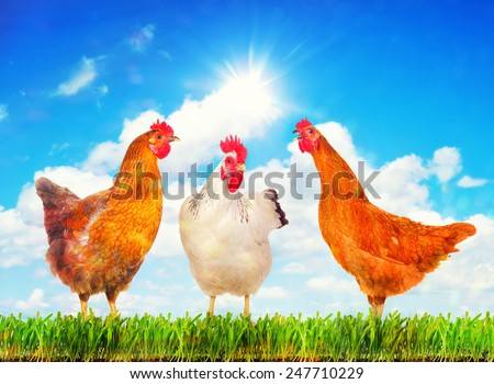 Happy hens standing on a green grass against sunny sky. - stock photo