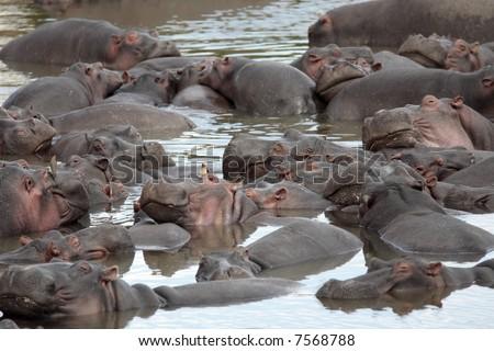 happy Hippopotamus (always smiling) in the marra river in the masai mara reserve in kenya africa - stock photo