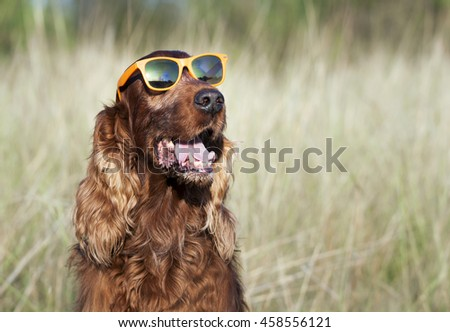 Happy Irish Setter dog smiling - stock photo