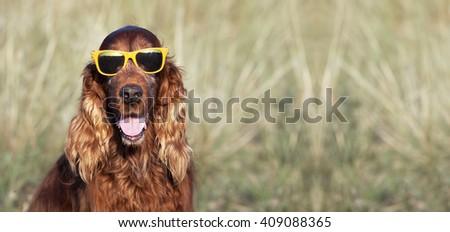 Happy Irish Setter dog smiling to the camera - stock photo