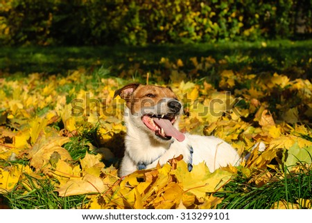 Happy Jack Russell Terrier dog in fall leaves - stock photo