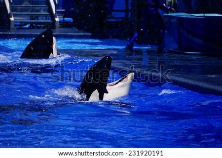 Happy killer whale - stock photo