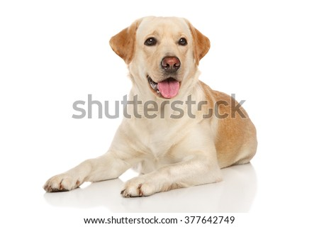 Happy Labrador posing on white background - stock photo