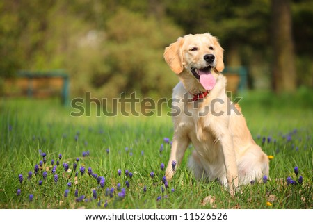 Happy Labrador retriever resting in the park - stock photo