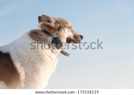Happy Laika on snow at sunny day. - stock photo