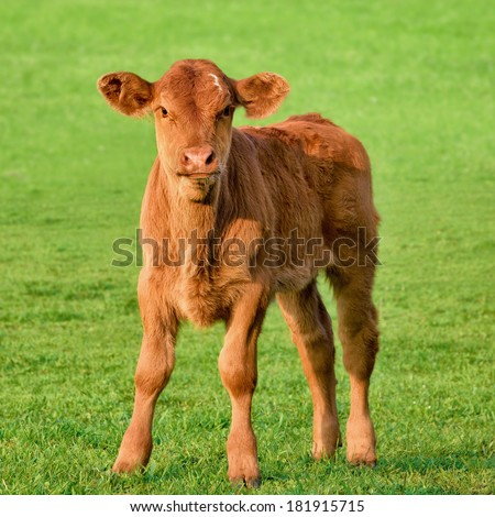 Happy little calf standing on fresh grass in the sunlight and looking into the camera - stock photo