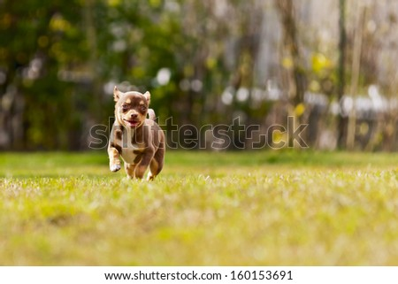 happy little chihuahua running in the grass - stock photo