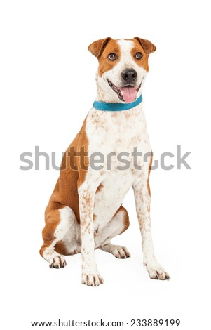 Happy looking Australian Cattle Mix Breed Dog sitting while looking into the camera with an open mouth.  - stock photo