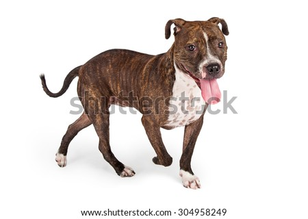 Happy looking Staffordshire Bull Terrier Dog with its tongue hanging out of its mouth. - stock photo