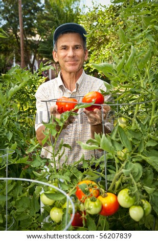 Happy man in his tomato garden. - stock photo