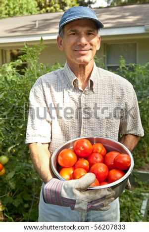 Happy mature male holding the tomatoes he has just picked in his urban organic front yard garden. - stock photo