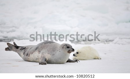 Happy mother harp seal cow and newborn pup on ice