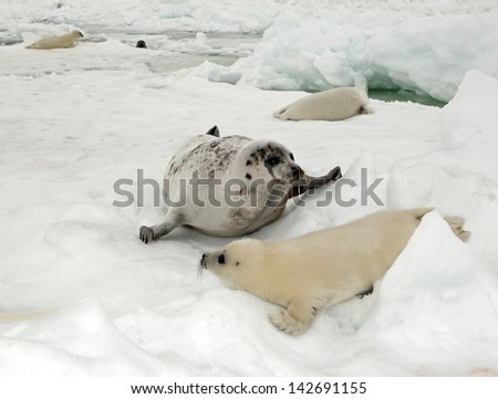 Happy mother harp seal cow and newborn pup on ice - stock photo