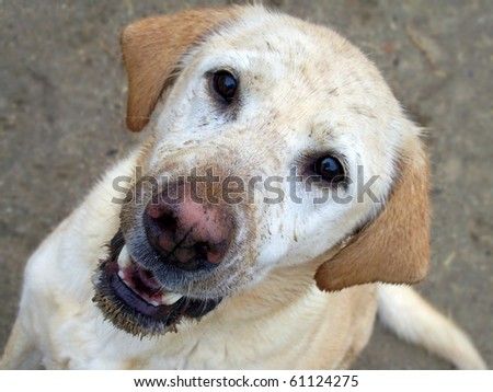 Happy mud splattered Yellow Labrador Retriever - stock photo
