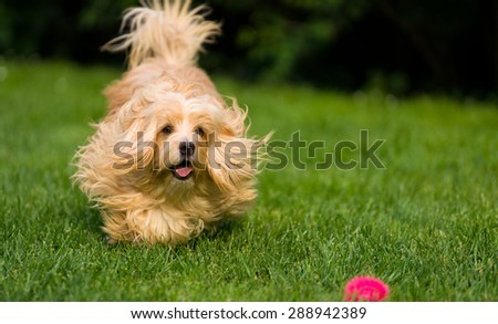 Happy orange havanese dog is chasing a ball in the grass, towards camera - stock photo