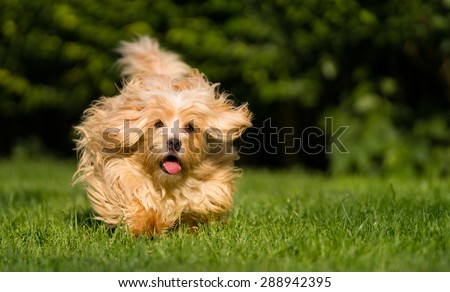 Happy orange havanese dog is running fast towards camera in the grass