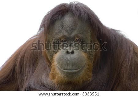 Happy Orangutan - stock photo