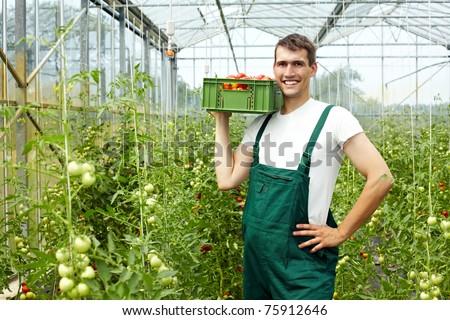 Happy organic farmer harvesting tomatoes in greenhouse - stock photo