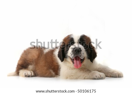 Happy Panting Saint Bernard Puppy Lying on His Stomach Against White Background - stock photo