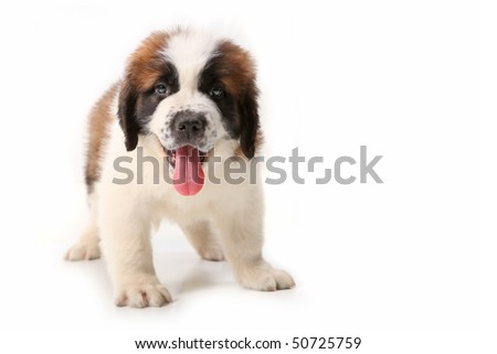 Happy Panting Saint Bernard Puppy on White Background - stock photo