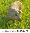 Happy pig in green grass - stock photo