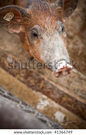 happy piggiy - stock photo