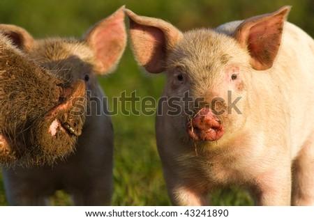 Happy piglets - stock photo