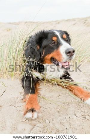Happy playful berner sennen dog outdoors in dune landscape. Enjoying nature. Stormy day. - stock photo