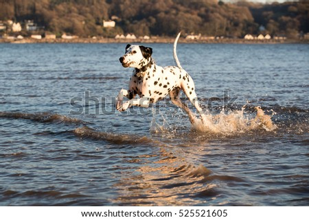 Happy playful dalmatian dog playing about in the sea having fun splashing around
