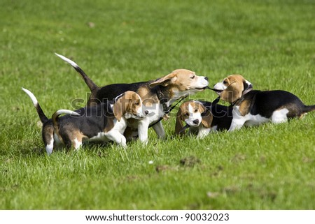 happy playing beagle family - stock photo