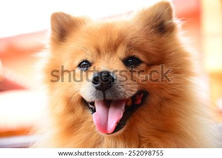 Happy Pomeranian Dog - stock photo