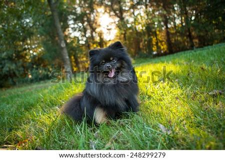 Happy Pomeranian sitting outside in a field - stock photo