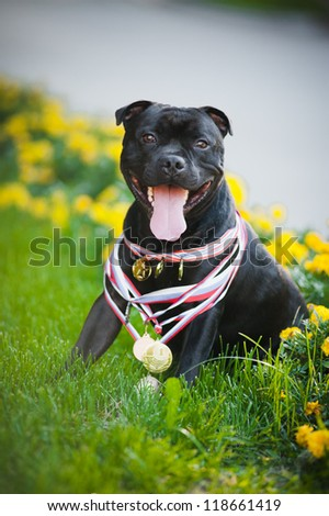 Happy proud dog Stafford Terrier with medals - stock photo