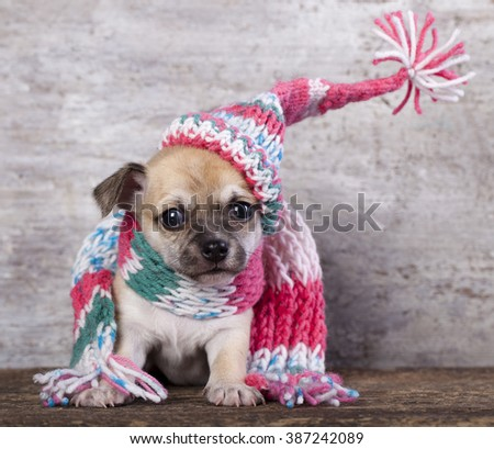 Happy Puppy Chihuahua in hat knit - stock photo
