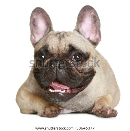 Happy puppy of the French bulldog lies on a white background