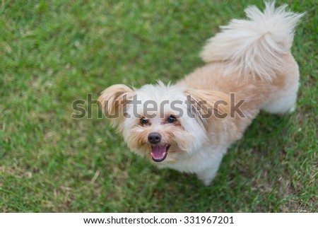 Happy puppy on the grass (Pudelek - Pomeranian)